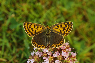 Sooty Copper (Lycaena tityrus) butterfly female on pink flower, Pyrenees, Spain  -  Ian Rose/ FLPA