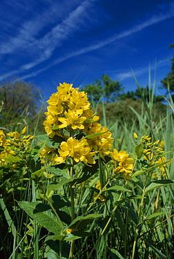 Yellow Loosestrife (Lysimachia vulgaris) flowers, England  -  Ian Rose/ FLPA