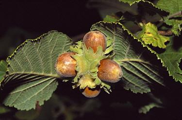 Hazelnut (Corylus avellana) branch with mature nuts, Europe  -  Peggy Heard/ FLPA