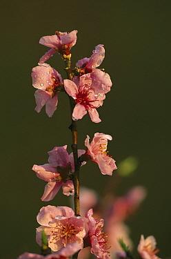 Peach (Prunus persica) flowers, Asia  -  B. Borrell Casals/ FLPA