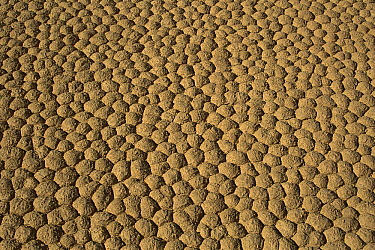 Close up of hexagonal mud crack saucers on Racetrack Playa, Death Valley National Park, California  -  Mark Newman/ FLPA