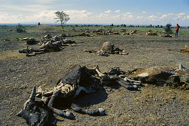 Domestic Cattle (Bos taurus) dead from starvation after great drought, Athi River, Kenya  -  Peter Davey/ FLPA