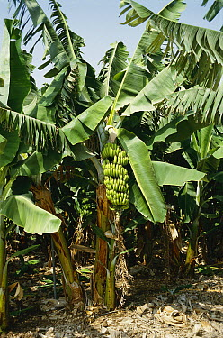 Banana (Musa sp) plantation showing ripe fruit clusters, cultivated throughout the tropics  -  Jean Hosking/ FLPA