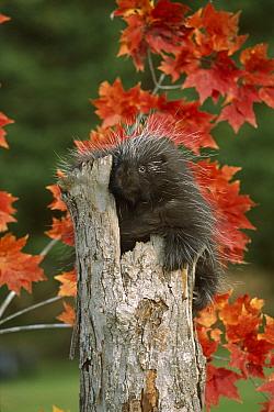 Common Porcupine (Erethizon dorsatum) climbing tree stump in autumn, Europe  -  l Lee Rue/ FLPA
