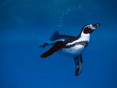 Humboldt Penguin (Spheniscus humboldti) swimming underwater  -  Gerard Lacz/ FLPA