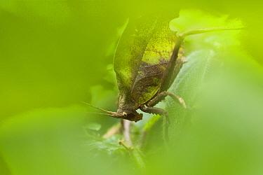 Leaf-mimic Katydid (Microcentrum triangulatum) male, Costa Rica  -  Piotr Naskrecki