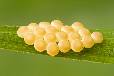 Eggs of an unidentified insect, Guinea, West Africa  -  Piotr Naskrecki