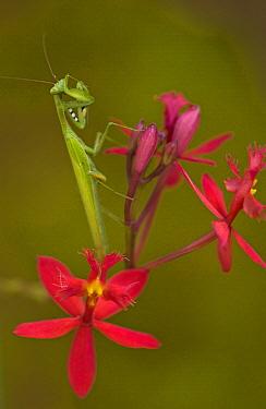 Praying Mantis (Mantis sp) on an Orchid, Madagascar  -  Piotr Naskrecki