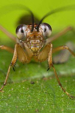 Mantid (Mantoida sp), Costa Rica  -  Piotr Naskrecki