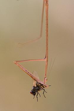 Unidentified grass-mimicking Praying Mantis, eating a Fly, Guinea, West Africa  -  Piotr Naskrecki