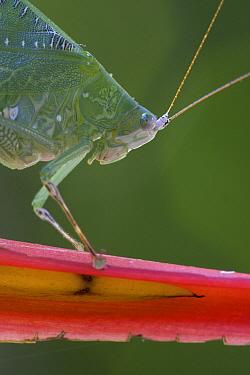 Leaf Katydid (Hyperphrona irregularis) profile, Costa Rica  -  Piotr Naskrecki