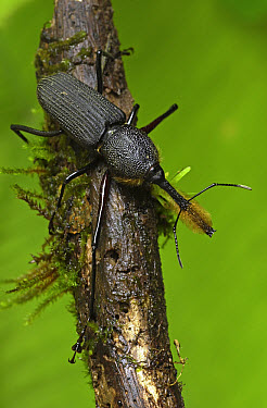 Bearded Weevil (Rhinostomus barbirostris) species displays interesting sexual polymorphism, Costa Rica  -  Piotr Naskrecki
