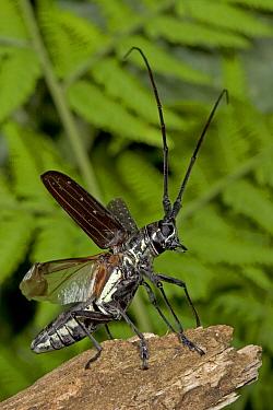 Longhorn Beetle (Cerambycidae) preparing to take off, Costa Rica  -  Piotr Naskrecki