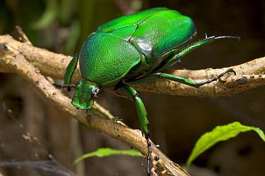 Golden Chaffer Beetle (Dicronorrhina micans) Guinea, West Africa  -  Piotr Naskrecki