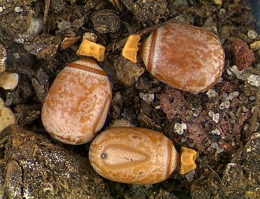 Goliath Stick Insect (Eurycnema goliath) eggs resemble seeds, Australia  -  Piotr Naskrecki