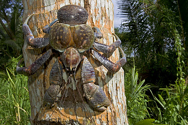 Coconut Crab (Birgus latro) the largest living terrestrial invertebrate, can reach a weight of nine pounds and a leg span of over three feet, Guadalcanal, Solomon Islands  -  Piotr Naskrecki