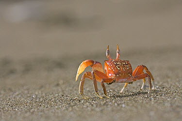 Ghost Crab (Ocypode quadrata) patrolling a beach on the Pacific coast of Costa Rica in search of small animals or carcasses of fish washed ashore, Costa Rica  -  Piotr Naskrecki