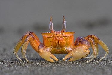 Ghost Crab (Ocypode quadrata) fully alert male scanning the horizon for mates and rivals, Pacific coast, Costa Rica  -  Piotr Naskrecki