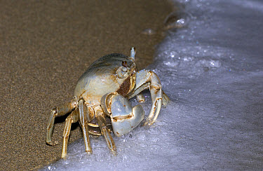 Blue Land Crab (Cardisoma guanhumi) female, cautiously approaching the edge of the beach to release her eggs during full moon, Dominican Republic  -  Piotr Naskrecki