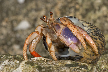 Hermit Crab (Dardanus sp) emerging from its shell, Hispaniola  -  Piotr Naskrecki