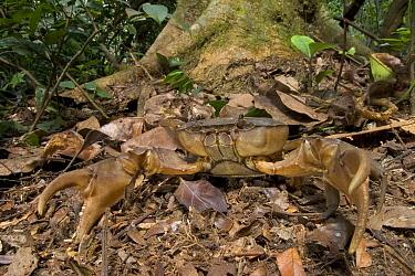 Lobster Claw Crab (Liberonautes latidactylus) female, scouting the forest floor, Guinea, West Africa  -  Piotr Naskrecki