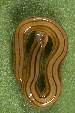 Planarian (Planariidae) the only members of the Flatworm family (Platyhelminthes) an aquatic dwelling group that has adapted to live and move on land by the action of a strip of powerful, closely spac...  -  Piotr Naskrecki