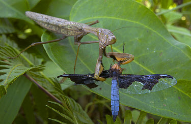Blue Dragonfly (Palpopleura portia) falling victim to an even larger hunter, an African Savannah Mantid (Polyspilota aeruginosa), Guinea  -  Piotr Naskrecki