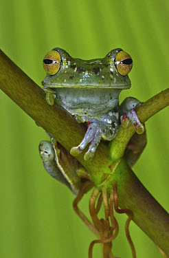 Canal Zone Treefrog (Hypsiboas rufitelus) perching on stem, Costa Rica  -  Piotr Naskrecki