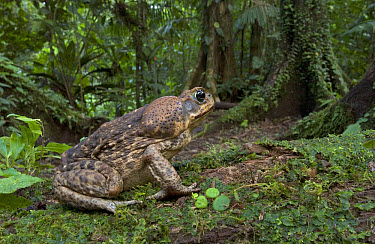 Cane Toad (Bufo marinus) the large swollen parotid glands behind the head of the cane produce a mixture of fourteen different toxins affecting the nervous system of any predator inexperienced enough t...  -  Piotr Naskrecki
