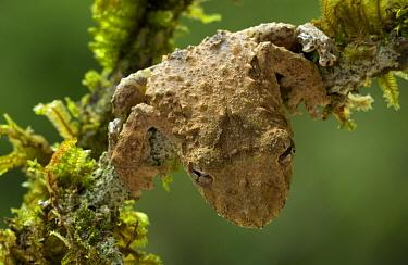 Warty Treefrog (Scinax boulengeri) camouflaged on mossy twig, Costa Rica  -  Piotr Naskrecki
