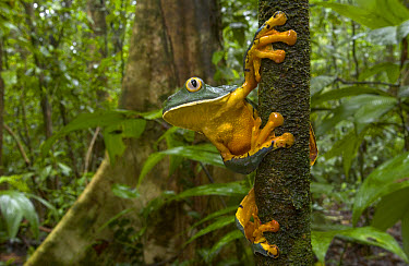 Splendid Leaf Frog (Agalychnis calcarifer) a rarely seen species associated with natural forest gaps, Costa Rica  -  Piotr Naskrecki