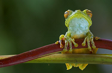 Canal Zone Treefrog (Hypsiboas rufitelus) portrait, Costa Rica  -  Piotr Naskrecki