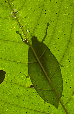 Mountain Katydid (Acripeza reticulata) silhouette seen from below through leaf, Guinea, West Africa  -  Piotr Naskrecki