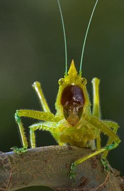 Brown-faced Spear Bearer (Copiphora hastata) katydid portrait, Costa Rica  -  Piotr Naskrecki