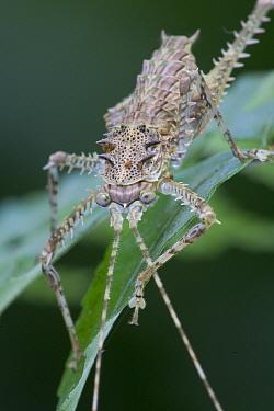 Spiny-legged Rainforest Katydid (Phricta spinosa) portrait, Australia  -  Piotr Naskrecki