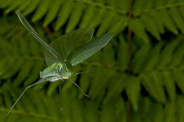 Katydid (Ischyra sp) flying, newly discovered, yet unnamed, Costa Rica  -  Piotr Naskrecki