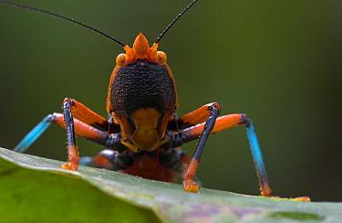Katydid (Plastocorypha vandicana) the black, blue, and orange coloration probably serves as warning to predators, Guinea, West Africa  -  Piotr Naskrecki