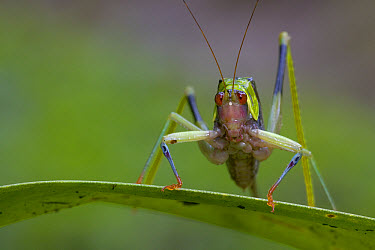 Costa Rican Leaf-wing Katydid (Euceraia insignis) the yellow, red, and blue markings help it blend among partially decayed leaves, Costa Rica  -  Piotr Naskrecki