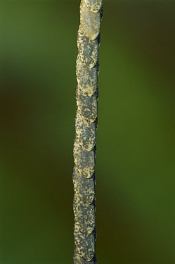 Katydid (Microcentrum sp) eggs lined up on plant stem, Costa Rica  -  Piotr Naskrecki