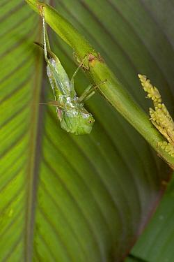Costa Rican Katydid (Xestoptera cornea) molting, sequence 2 of 6  -  Piotr Naskrecki