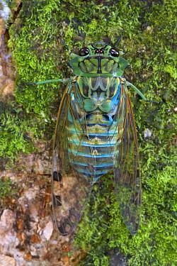 Emerald Cicada (Zamara smaragdina) male after completing its final molt, Costa Rica  -  Piotr Naskrecki