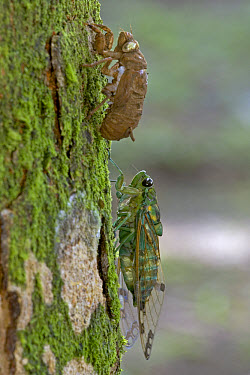 Emerald Cicada (Zamara smaragdina) male completing its final molt, Costa Rica  -  Piotr Naskrecki