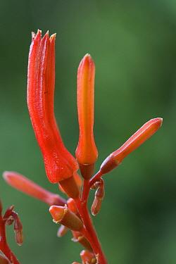Firebush (Hamelia patens) flowering, a relative of the coffee plant, Costa Rica  -  Piotr Naskrecki