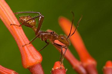 Ant-mimic Bug (Hyalymenus sp) on Firebush (Hamelia patens) mimicking the ferocious Ant (Ectatomma tuberculatum), Costa Rica  -  Piotr Naskrecki