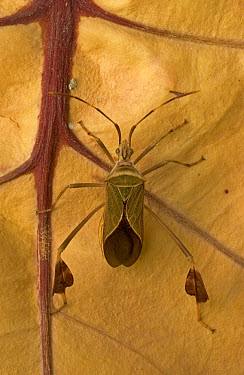 Squash Bug (Coreidae) on leaf, Dominican Republic  -  Piotr Naskrecki