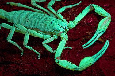 Scorpion (Centruroides limbatus) glows in ultraviolet light, Costa Rica, sequence 2 of 2  -  Piotr Naskrecki