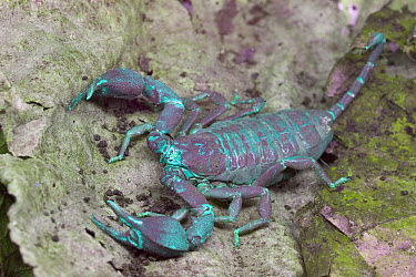 Scorpion (Centruroides limbatus) photographed in ultraviolet light, mottled appearance probably due to recent molting, Solomon Islands  -  Piotr Naskrecki