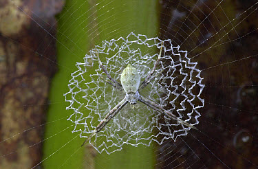 Tiger Spider (Argiope savignyi) male on a web showing a distinct stabilimentum, an enforced part of the orb, Costa Rica  -  Piotr Naskrecki