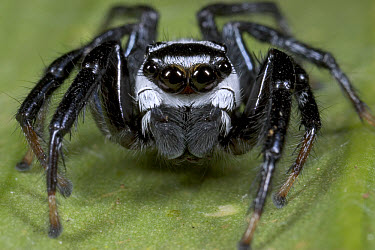 Jumping Spider (Phiale formosa) showing multiple eyes and palps, Costa Rica  -  Piotr Naskrecki