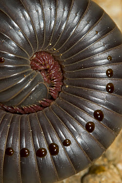 Drops of repellant on the body of Millipede, Solomon Islands  -  Piotr Naskrecki